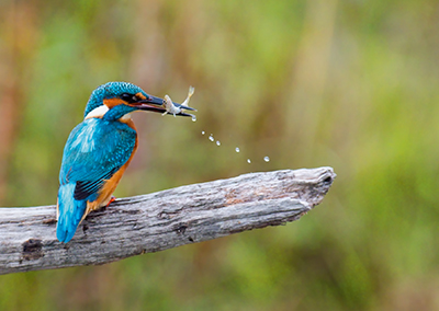 Eisvogel · kingfisher