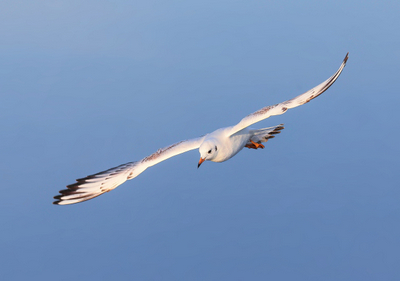 Lachmöwe · black-headed gull